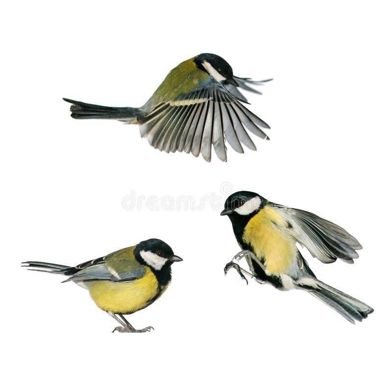 Vlieg en tribune van de drie stellen de de kleine zangvogelsmees op een wit geïsoleerde achtergrond in divers en bekijken stock fotografie