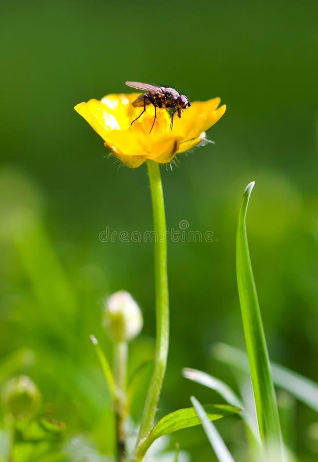Vlieg op bloem stock fotografie