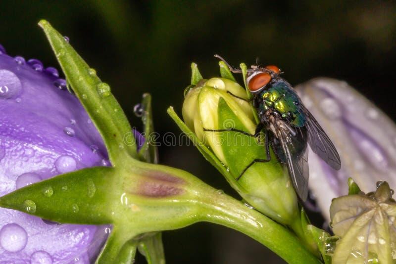 Vlieg op bloem Macrophoto stock afbeelding