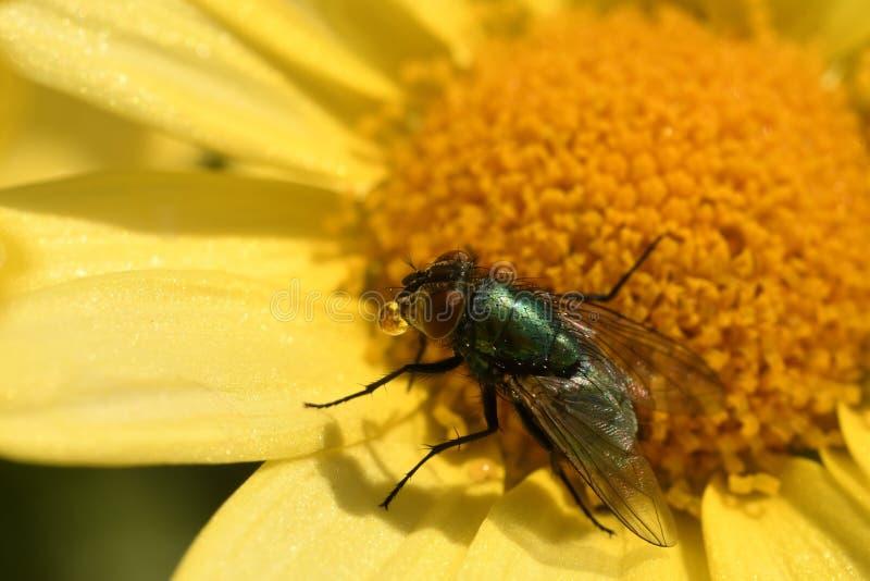 Vlieg op een geel madeliefje stock foto's