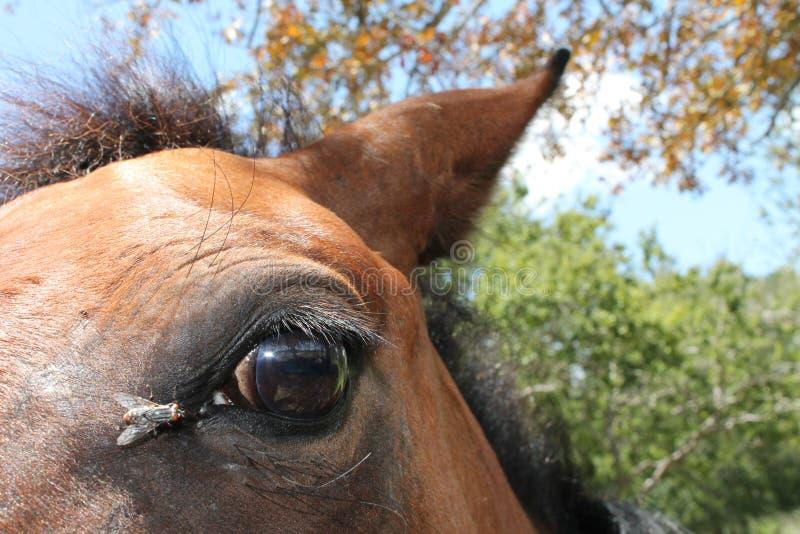 Vlieg op oog van een paard stock fotografie