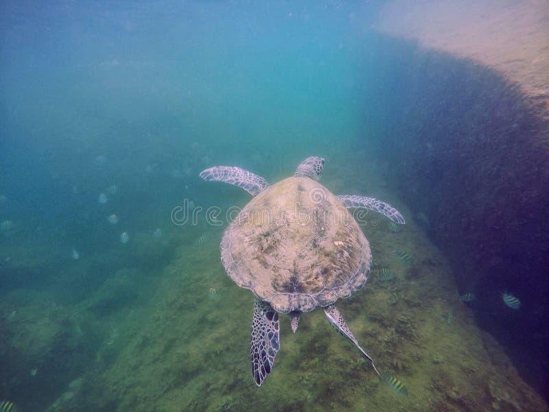 Vlieg van de schildpad stock foto's