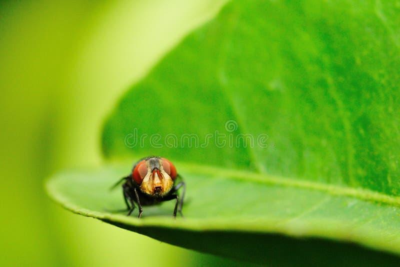 Vliegen de rode ogen verblijf op groen blad stock foto