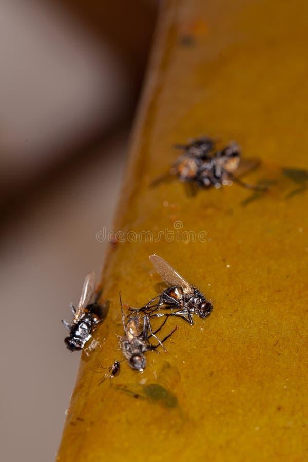 Vliegen die aan de val worden geplakt stock afbeeldingen