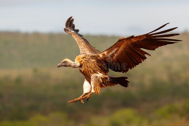 Vliegen vóór de landing met witte ruggen royalty-vrije stock afbeeldingen