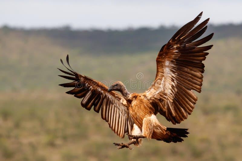 Vliegen vóór de landing met witte ruggen stock afbeeldingen