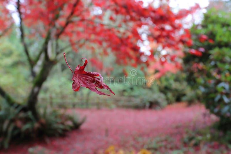 Vliegend helder rood die blad in het spin` s Web wordt gevangen in de daling van het de herfstblad royalty-vrije stock foto's