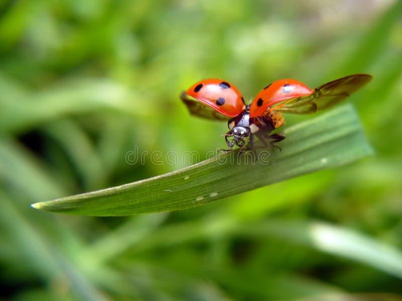 Vliegend onzelieveheersbeestje stock fotografie
