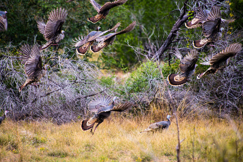 Vliegend Texas Turkeys stock foto
