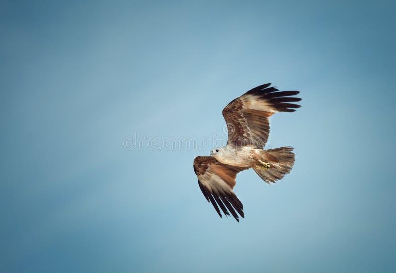 Vliegende adelaar op de achtergrond van hemel royalty-vrije stock foto's