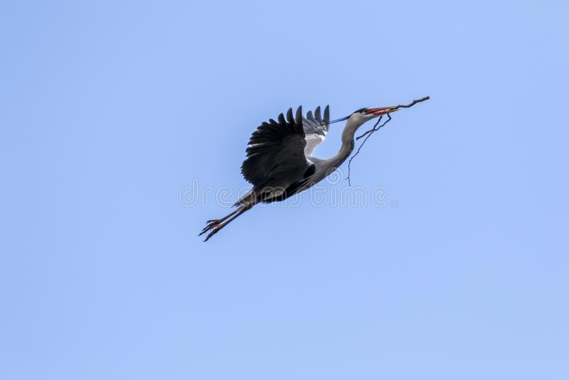 Vliegende Blauwe Reiger stock fotografie