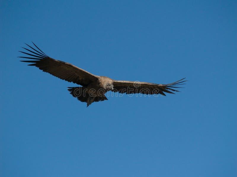 Vliegende condor in de canion Colca stock afbeelding