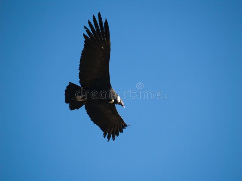 Vliegende condor in de canion Colca stock afbeeldingen
