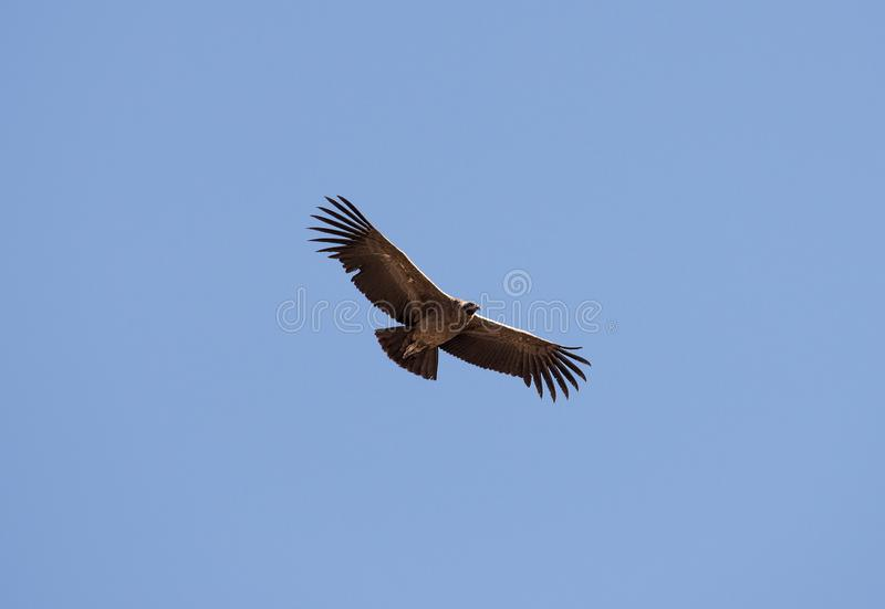 Vliegende condor over Colca-canion, Peru De condor is de grootste vliegende vogel ter wereld royalty-vrije stock fotografie