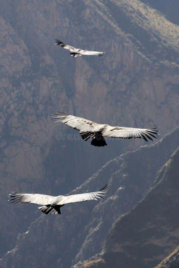Vliegende condor over Colca-canion in Peru, Zuid-Amerika. royalty-vrije stock afbeelding