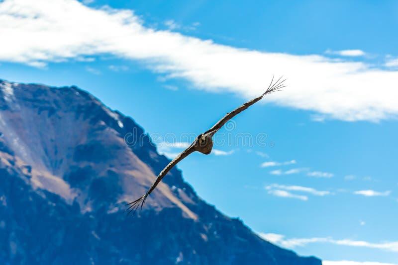 Vliegende condor over Colca-canion, Peru, Zuid-Amerika. Deze condor de grootste vliegende vogel stock foto's