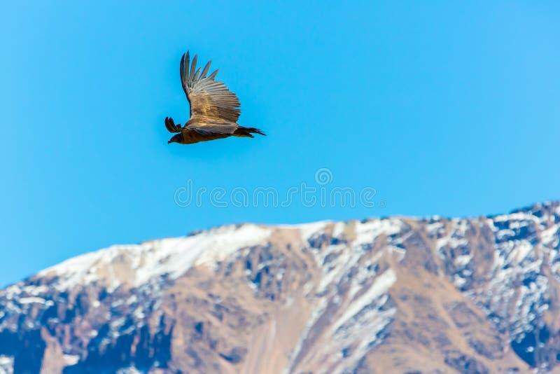 Vliegende condor over Colca-canion, Peru, Zuid-Amerika. Deze condor de grootste vliegende vogel royalty-vrije stock afbeeldingen