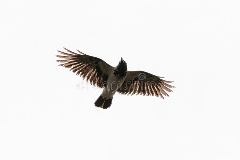 Vliegende die kraai op witte achtergrond wordt geïsoleerd royalty-vrije stock afbeelding