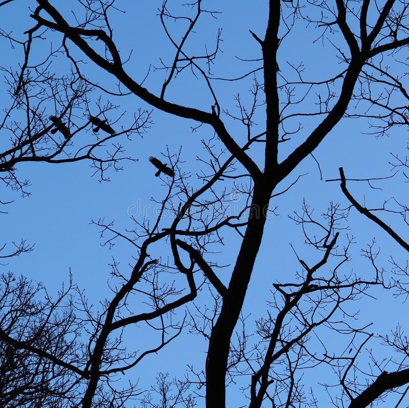 Vliegende die kraaien en takken door maanlicht worden gesilhouetteerd stock fotografie
