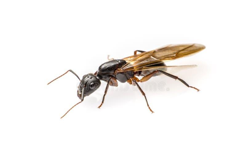Vliegende die mier op witte achtergrond wordt geïsoleerd stock fotografie