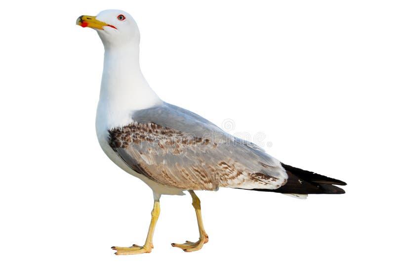 Vliegende die zeemeeuw op wit wordt geïsoleerdh royalty-vrije stock foto
