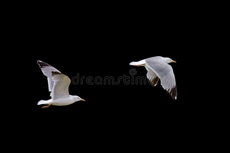 Vliegende die zeemeeuw op zwarte achtergrond wordt geïsoleerd royalty-vrije stock fotografie