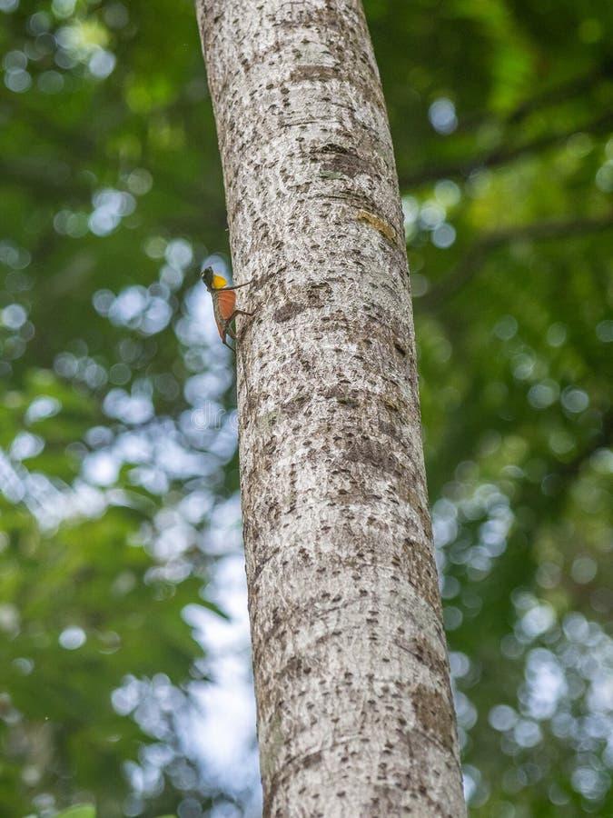 Vliegende draak, Draco-soorten Tangkokoreserve, het Noorden Sulawesi stock afbeeldingen