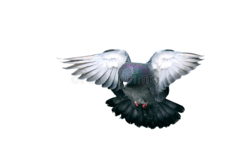 Vliegende duif stock foto's
