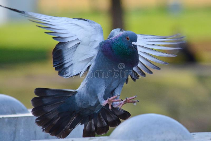 Vliegende duif die voor het landen komen royalty-vrije stock foto's