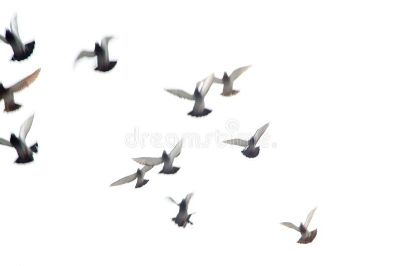 Vliegende duifgroep stock afbeeldingen