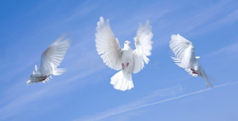 Vliegende duiven royalty-vrije stock fotografie