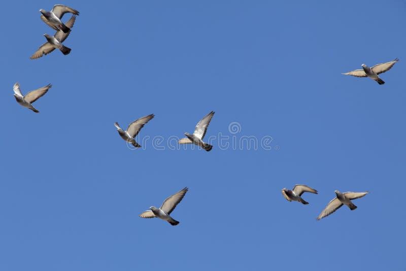 Vliegende duiven stock fotografie