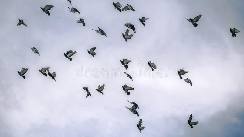 Vliegende Duiven in bewolkte hemel royalty-vrije stock afbeelding