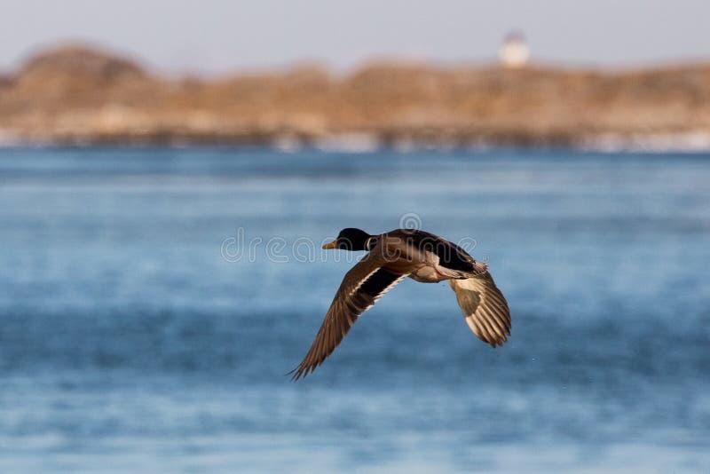 Vliegende eend royalty-vrije stock afbeelding