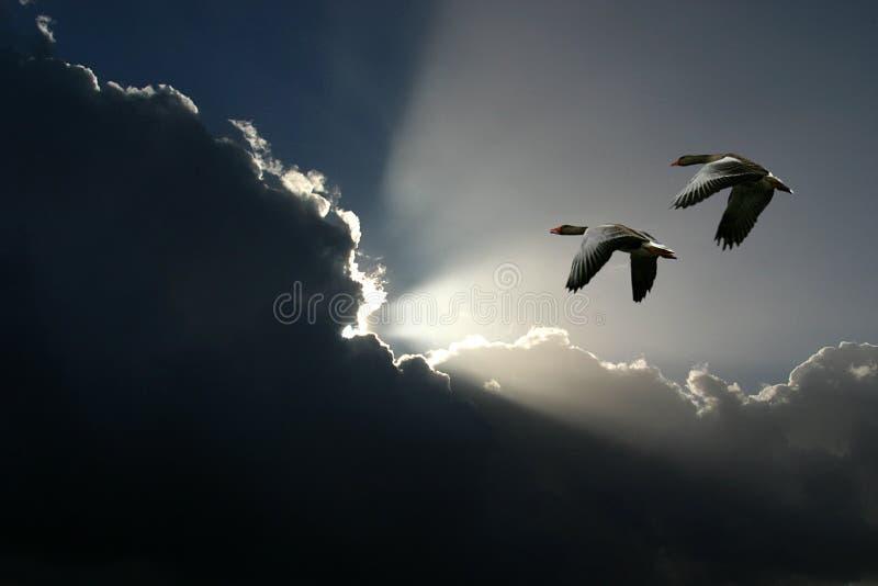 Vliegende ganzen en zonnige wolken stock afbeelding