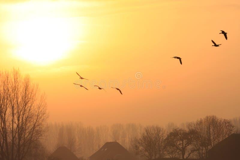 Vliegende ganzen tijdens zonsondergang royalty-vrije stock afbeelding