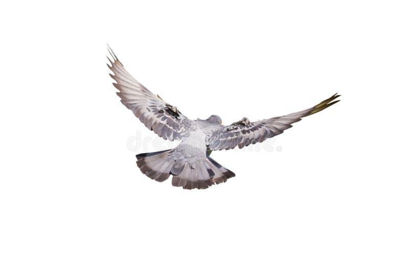 Vliegende geïsoleerde duif royalty-vrije stock afbeelding