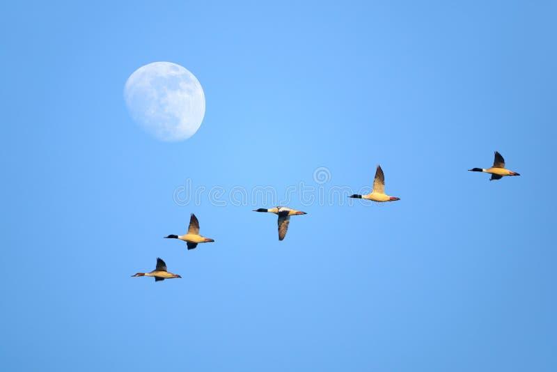 Vliegende Gemeenschappelijke Zaagbek stock foto's