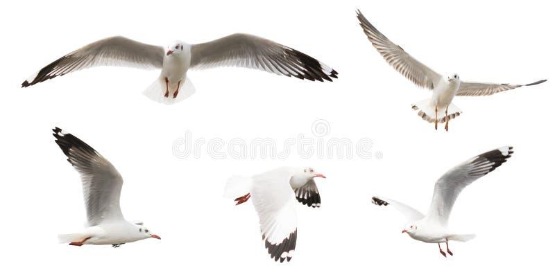 Vliegende geplaatste Zeemeeuwen, geïsoleerd op witte achtergrond