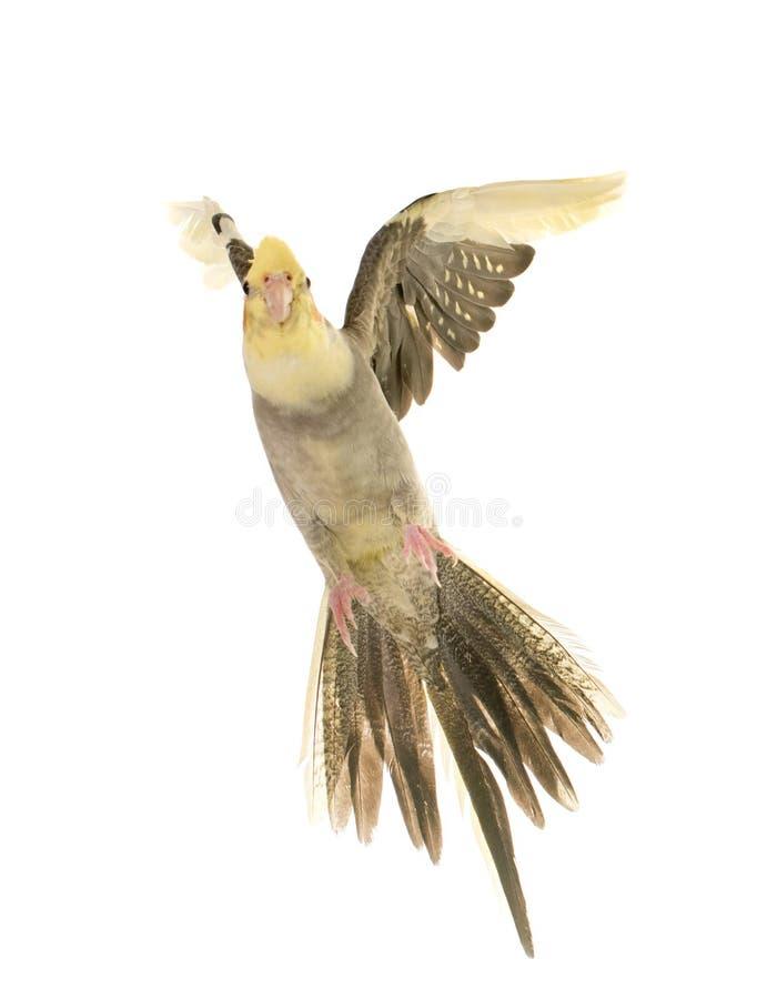 Vliegende grijze cockatiel stock afbeelding