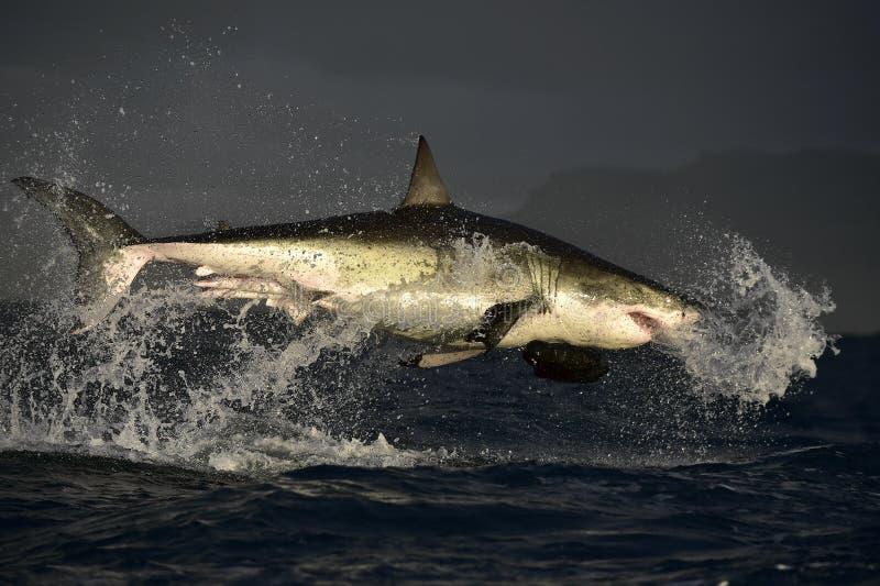 Vliegende Grote Witte Haai royalty-vrije stock afbeelding