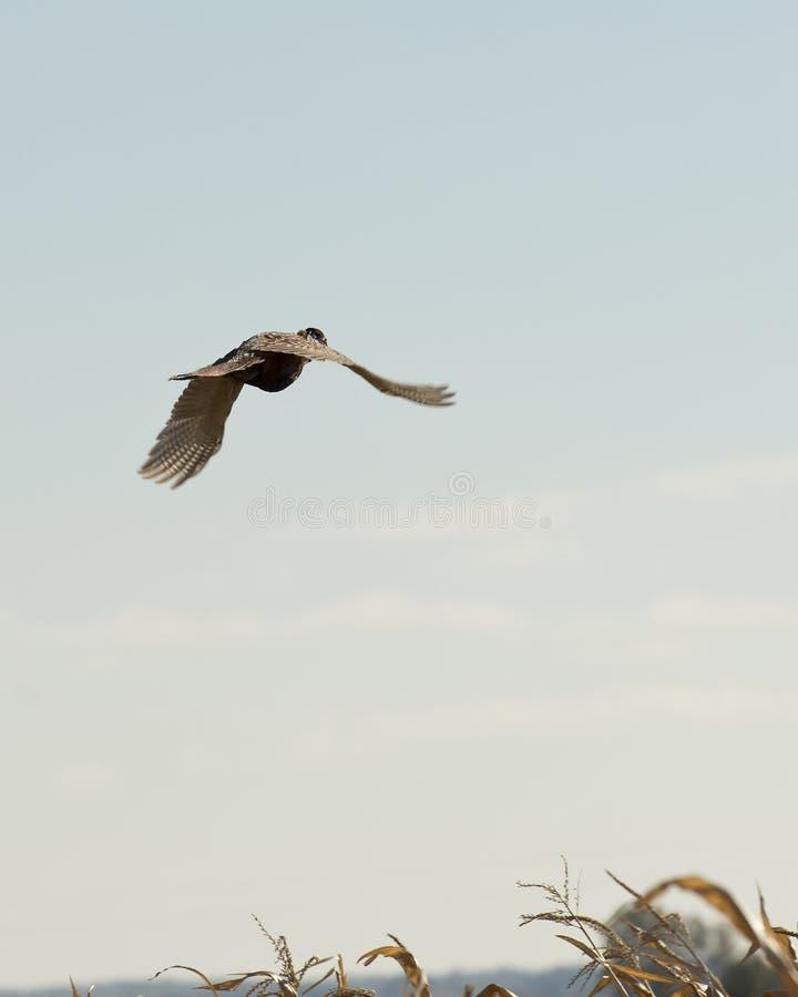 Vliegende Haanfazant stock afbeelding