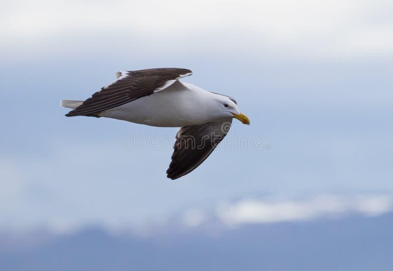 Vliegende Kelpmeeuw stock foto