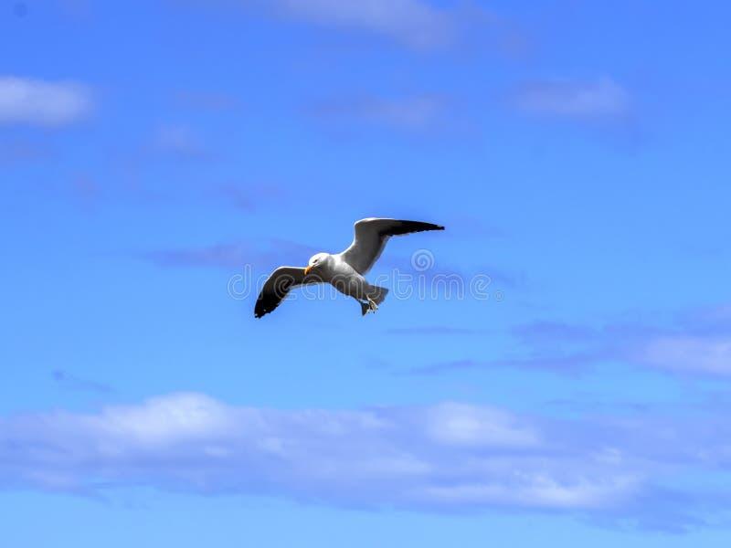 Vliegende Kelpmeeuw, Larus-dominicanus, Vrijwilligerspunt, Falkland Islands - Malvinas royalty-vrije stock fotografie