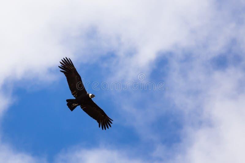 Vliegende Koning Vulture & x28; Sarcoramphus papa& x29; stock afbeeldingen
