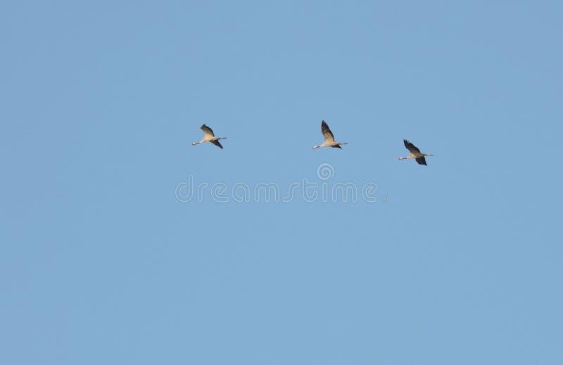 Vliegende kraanvogels stock fotografie