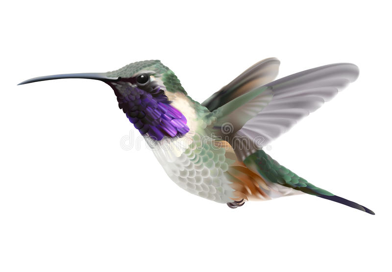 Vliegende Lucifer Hummingbird - Calothorax lucifer royalty-vrije illustratie