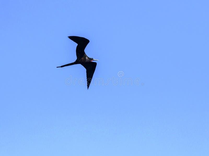 Vliegende mannelijke Prachtige frigatebird, Fregata magnificens, Santa Cruz, de Galapagos, Ecuador royalty-vrije stock fotografie