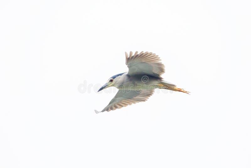 Vliegende nachtreiger royalty-vrije stock afbeeldingen