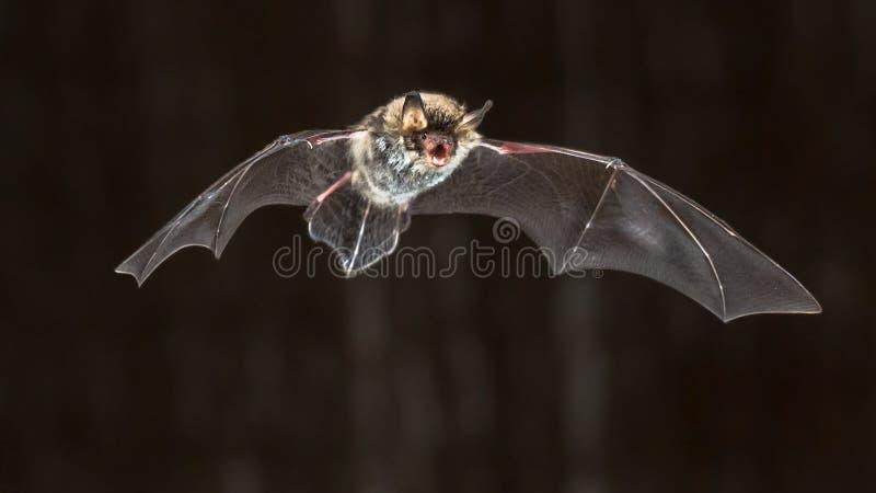 Vliegende Natterers-knuppel bij nacht stock afbeelding